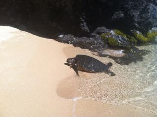 Your friends at the beach...Our Hawaiian sea turtles love this private cove