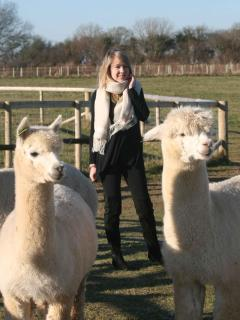 Beautiful Alpacas