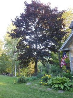 Our Big Beautiful Red Maple( Luv It)