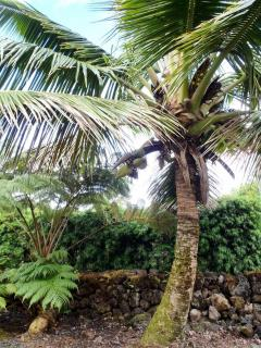 Coconut Palm in the yard