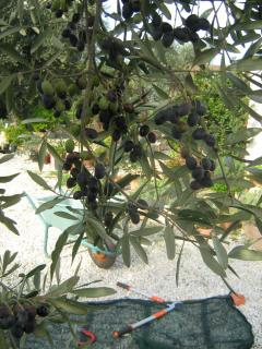 Olives - ready for picking in October/November