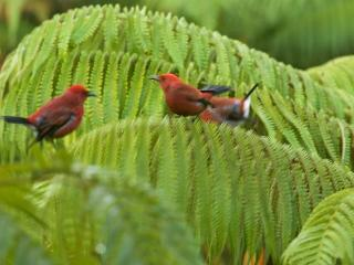 Apapane (Ah-Pah-Pah-Nay) playing in the Hapu'u tree ferns in the garden area.