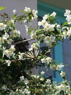 Scarce Swallowtail on Philadealphus Clifftop Cottage
