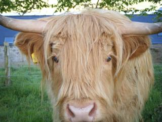 Our Highland Cattle graze just over the fence for your cottage and are certainly not camera shy.