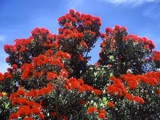 NZ Native Pohutukawa