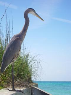 Heron at Point o' Rocks, Crescent Beach.