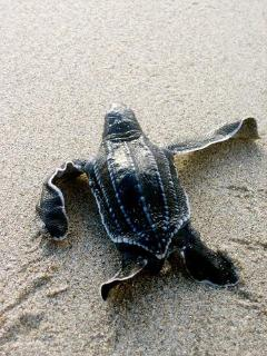 Levera - Early summer brings the leatherback hatchlings out...
