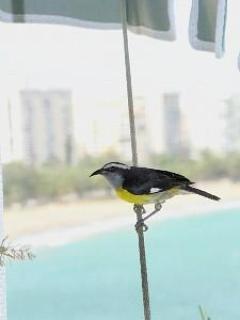 Una Reinita, visitante frecuente del balcón