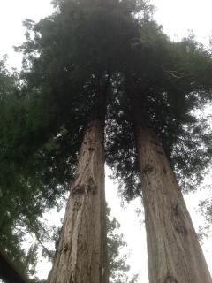 Old Towering Redwood Trees next to spa