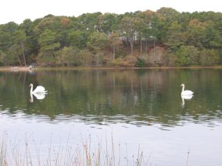 Swans on tranquil White Pond