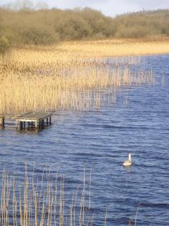 Lough Erne foreshore teeming with wild life. Swans, herons and geese regularly grace the foreshore