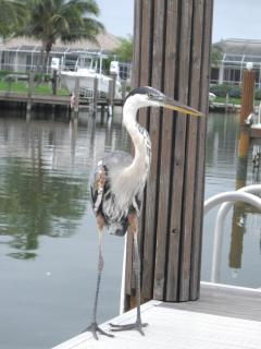 Egret on the Boat Dock
