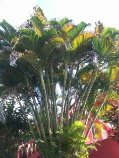 This regal tropical palm tree so majestic in the gardens at Ridge Bay Chateau