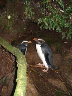 Fiordland Crested Penguins Doubtful Sound