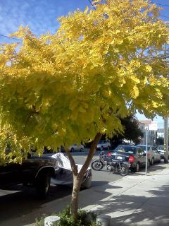 We may not get much of a change of seasons in California, but some of our trees DO change color!