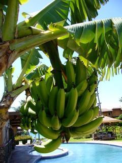 beautiful banana trees