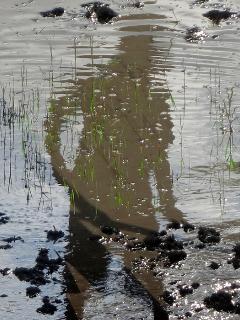 Reflected rice farmer