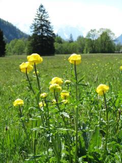 flowers, Trollblumen
