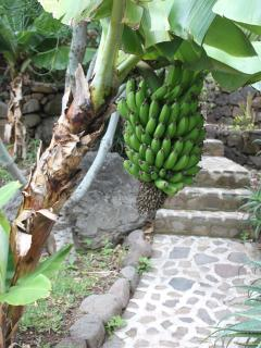 Bananas grow all over the property