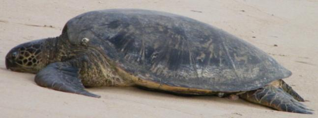 The sea turtle who likes to sleep on the beach in the early morning
