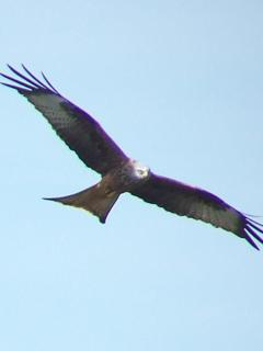 Red Kite floats on updraft along scarp behind Tree Tops