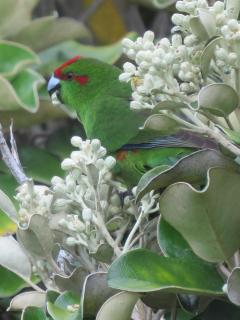 Kakariki are not easy to catch on camera, blending so well with the bush.