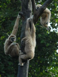 Gibbons in The Taiping Zoo