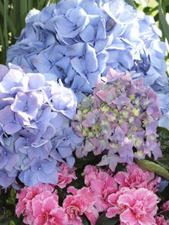 Lovely Hydrangeas of the Conservatory