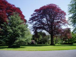 Copper beeches on the lawn in Kernick Park