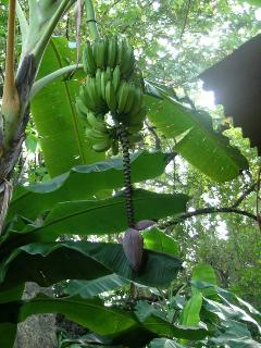 Side Garden-Ripe Plantains