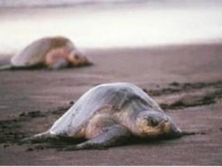 Visite el cercano Santuario de tortugas LaFlor - ver a las tortugas bebé hay camino de regreso al mar.