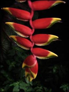 Lobster Claw Heliconia in the gardens