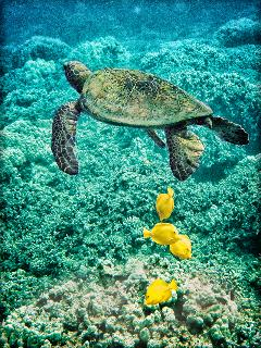 Turtle and tangs, snorkeling at Two Step, just 2.5 miles away