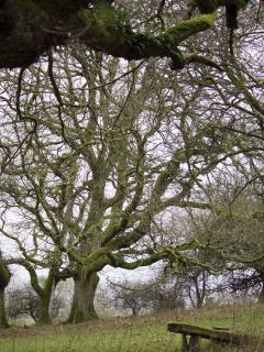 One of the Oak trees,something magical about this wood!