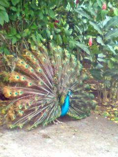 Peacock in it's Mating Ritual at Villa Encantada