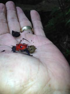 Rare... Poison Dart Frog found on a trail hike