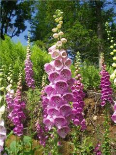 fox glove at cottage. One of many varieties of flowers to enjoy at the cottage.