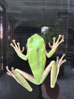 Beautiful tree frog on (outside of) screen door
