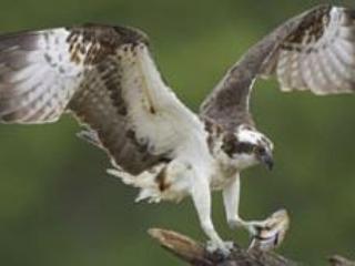 Osprey catching breakfast!