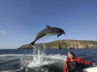 'Fungi' the famous local wild dolphin who has adopted Dingle Bay as his home for many years.