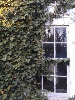 English Ivy in the backyard