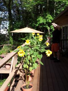 Upper deck with our sunflowers.  Upper deck has a view of the habor and the surrending woods...very peaceful
