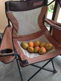 Mangos from our tree