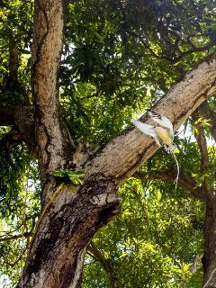 Tropic bird nesting in the trees