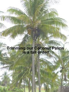 Trimming the Coconut Trees on the Property