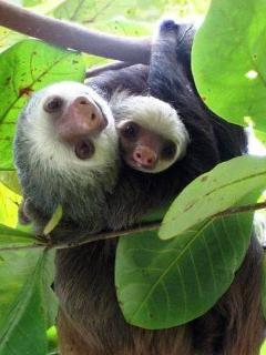 Two Toed Sloth and baby