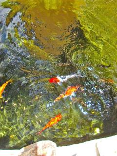 Our friendly koi eat right out of your hand
