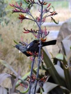 Tui on Flax around Cottage