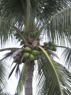 Cocnuts on a palm tree