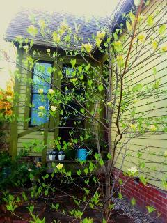 Dogwood in Bloom-Springtime